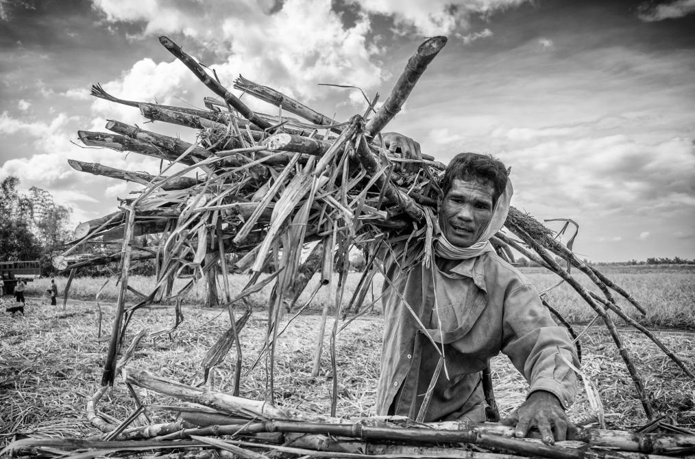 Sugarcane Harvest, Silay, Philippines